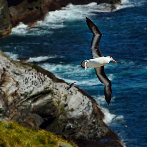 Black-Browed Albatross in Flight 7