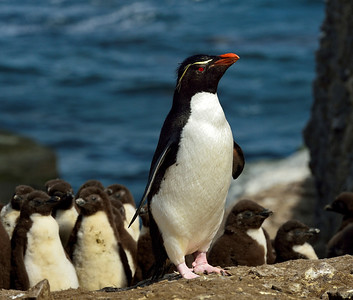 Rockhopper Penguin Leading Chicks