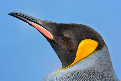 King Penguin, Portrait  -M