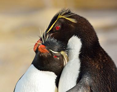 Rockhopper Penguin Couple -M