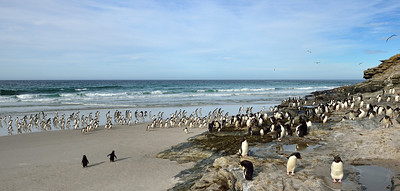 Rockhopper Penguins, Heading In for the Night