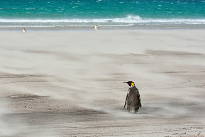 King Penguin on Beach in Gale Winds -M