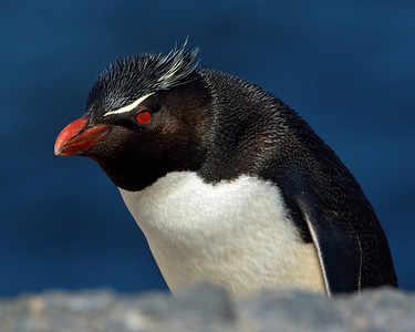 Rockhopper Penguin Portrait -M