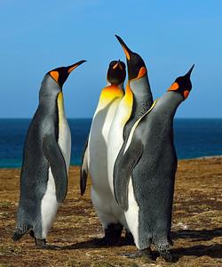 King Penguins in Pose 1