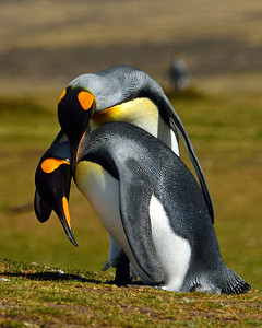 King Penguins Courting -M