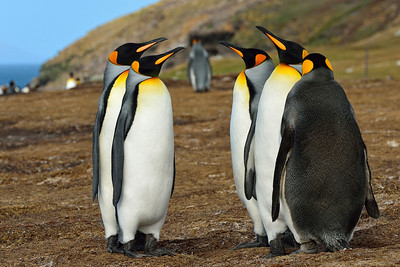King Penguins in Pose 3