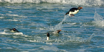 Rockhopper Penguins, Incoming to the Beach -M