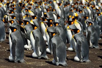 King Penguin Colony 1