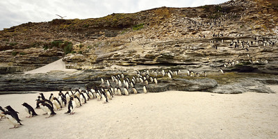 Rockhopper Penguins Heading out to Sea 2