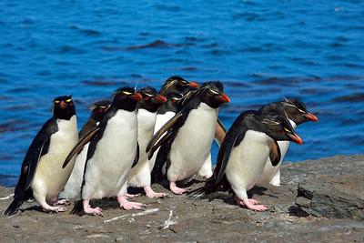 Rockhopper Penguin Pack -M