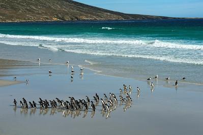 Rockhopper Penguins, Beach Landing