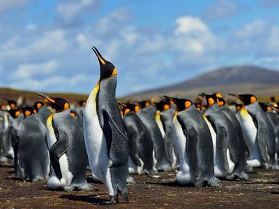 King Penguin Colony 2