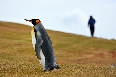 King Penguin and Friend -M