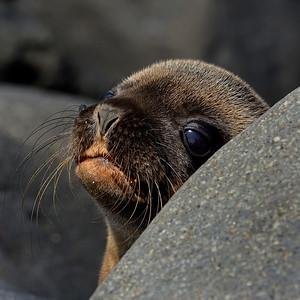 Galapagos Sea Lion Pup - N. Seymour - M