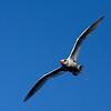 Tropicbird in Flight - Genovesa - M