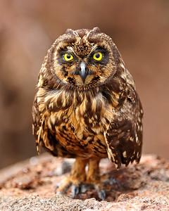 short-eared owl - Genovesa