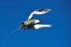 Tropicbird in Flight - Genovesa