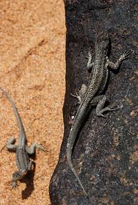 Lava Lizards - Santa Cruz - M