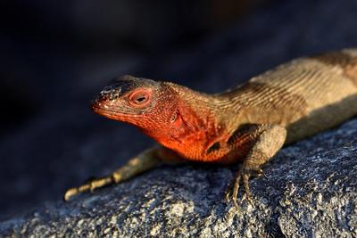 lava lizard - Espaniola - M