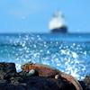 marine iguana & ship - Espaniola