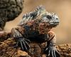 marine iguana - El Eden & Daphne