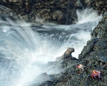 marine iguana & sally-lightfoot crabs in wave crash - Santiago