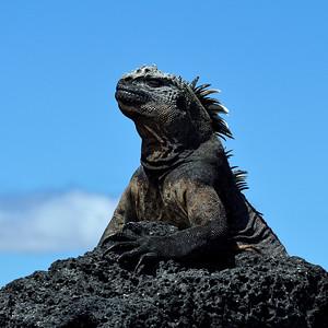 marine iguana portrait - Fernandina