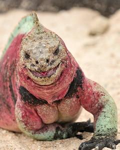 marine iguana in comical pose - Espaniola