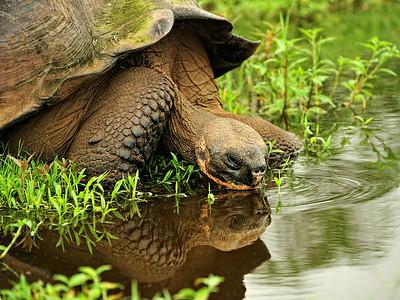 Galapagos Tortoise Drinking- Santa Cruz