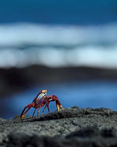 sally-lightfoot crab -  Fernandina