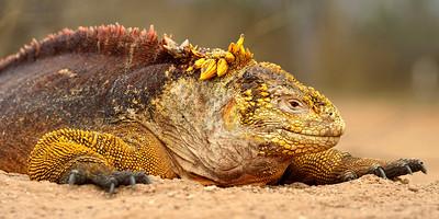 land iguana - Santa Cruz