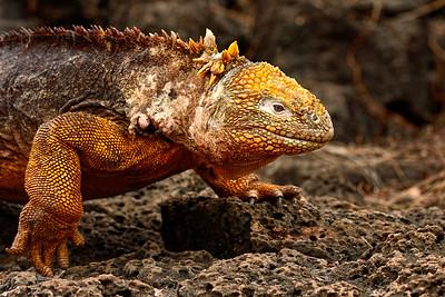 land iguana on the move - Santa Cruz - M