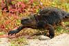 marine  iguana on the move - Santa Cruz