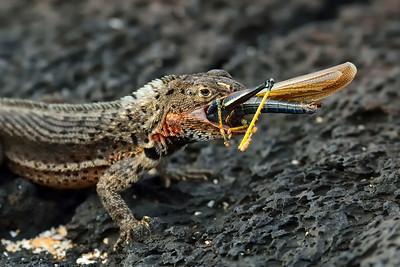 lava lizard with meal - Santiago