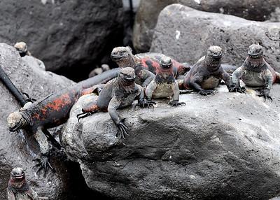 Marine Iguanas - Espaniola