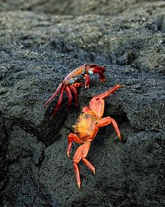 sally-lightfoot crabs, interaction - Santiago