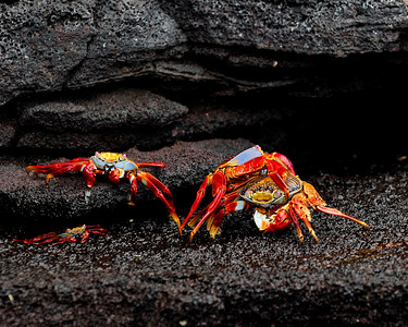 Sally Lightfoot Crabs, mating - El Eden & Daphne