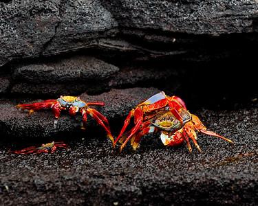 Sally Lightfoot Crabs, mating - El Eden & Daphne