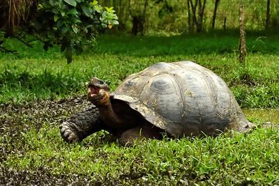 Galapagos tortoise - Santa Cruz - M
