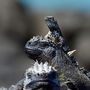 marine iguana pile-up - Fernandina - M