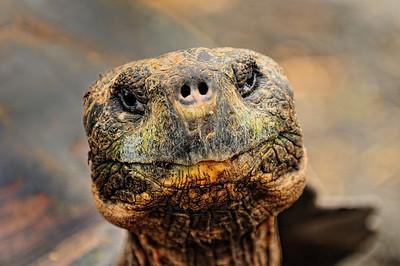 Galapagos Tortoise - Santa Cruz