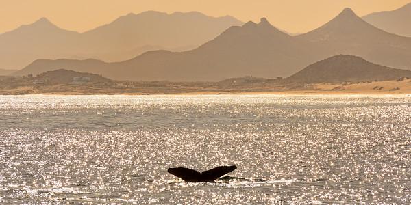 Humpback Whale, Near Sunset -M