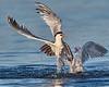 Elegant Tern Attacked by Heermann's Gull