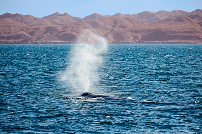 Blue Whale in Full Blow