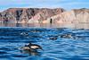Common Dolphin Pod Mom and Calf