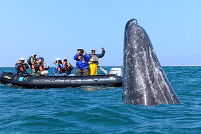 Grey Whale with Company