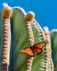 Monarch Butterfly on Cardon - M