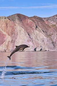 Common Dolphin - High-Jump - M