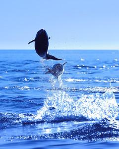 Bottlenose Dolphins, Airborne