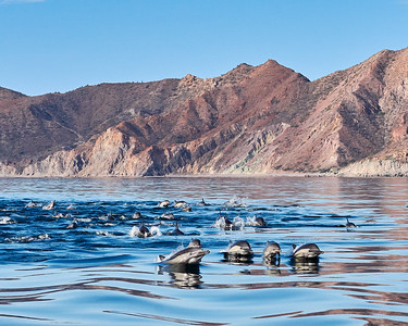 Common Dolphin Pod - Front Line - M